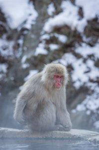 Snow Monkey - Yamanouchi, Japan