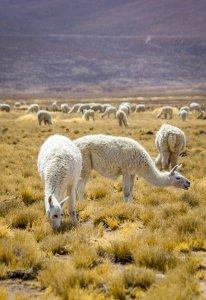 Wild Llamas - Peru