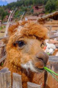 Alpaca - Ollantaytambo, Peru