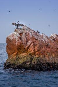 Neotropic Cormorant - Ballestas Islands, Peru