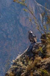 Andean Condor - Colca Canyon, Peru