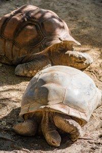 Galapagos Tortoises - Sydney, Australia