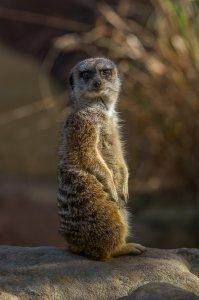 Meerkat - Sydney, Australia