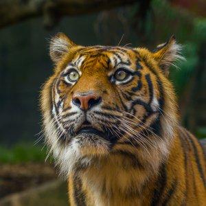 Sumatran Tiger - Sydney, Australia